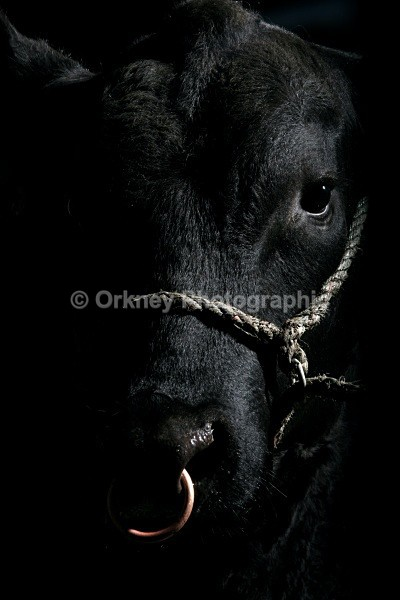 Aberdeen Angus 9687 - Orkney Images