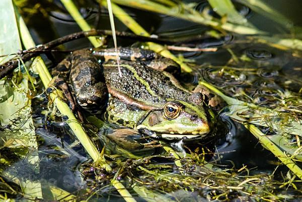 Marsh Frog, Rainham Marshes Essex - Reptiles and Amphibians