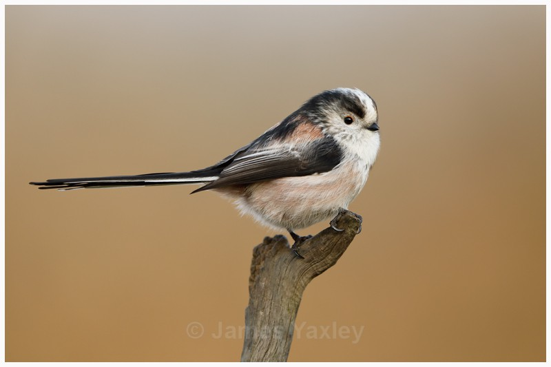 Long Tailed Tit  - Latest Work