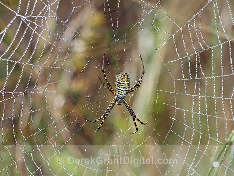 Banded Garden Spider Female Argiope trifasciata - Spiders of Atlantic Canada