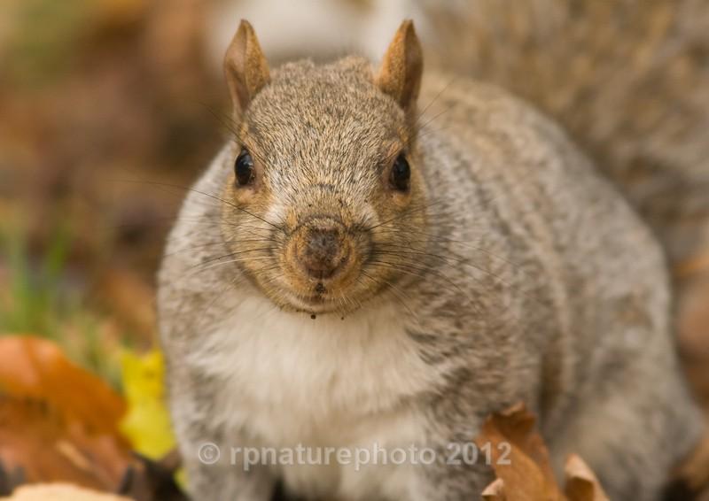 Grey Squirrel - Sciurus carolinensis RPNP0036 - Mammals