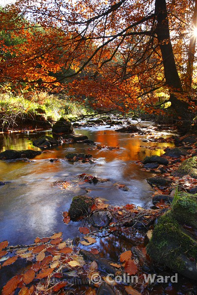 Stream at Hamsterly Forest. Ref 4558 - County Durham