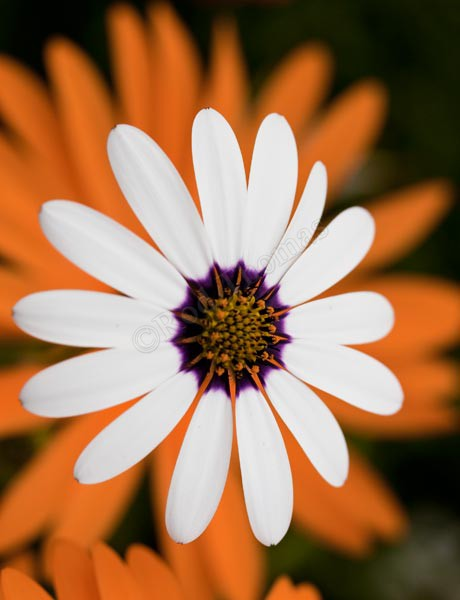 White Daisy - Plants and Flowers