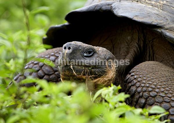 Galápagos giant tortoise 2 - Galapágos