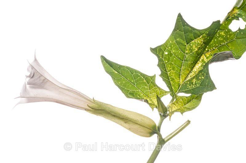 Thorn-apple (Datura stramonium) - Plants - WB