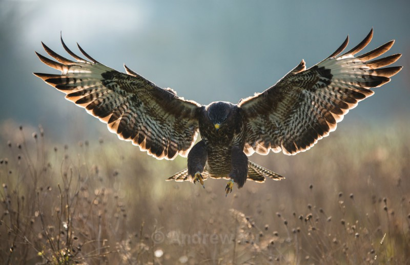 Attack of the Buzzard! - Wildlife and Nature Photography
