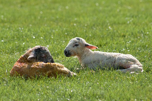 20 - The Lambing
