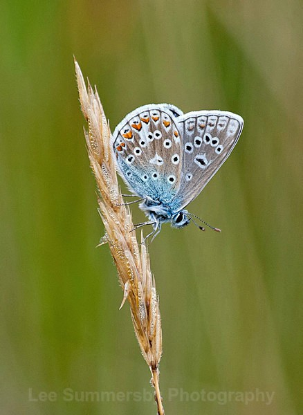 Common Blue, Dawlish Warren NNR - Butterflies and Moths