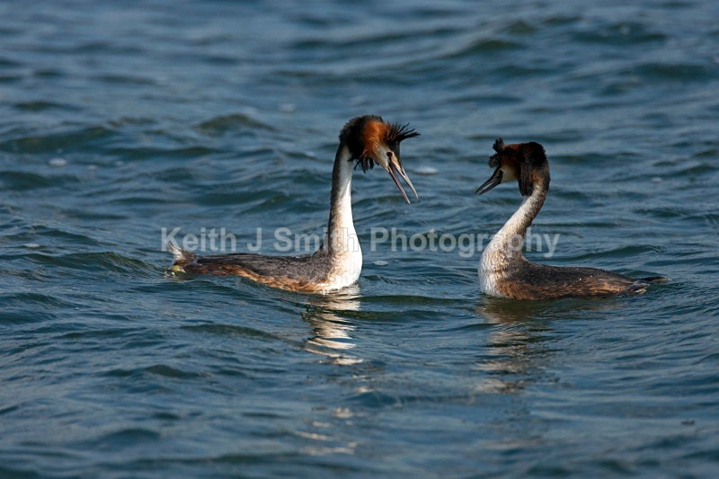 KJS_6857 - Great Crested Grebe.