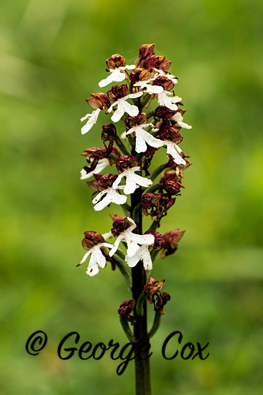 Lady Orchid - Orchids