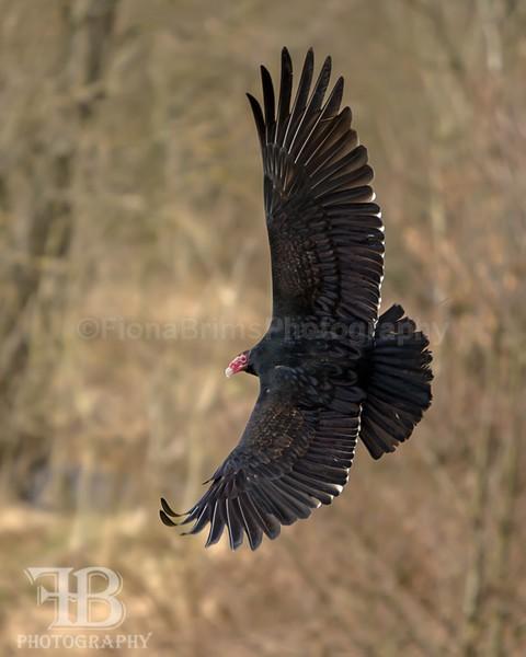 Wow March 16-31 - Birds of Prey