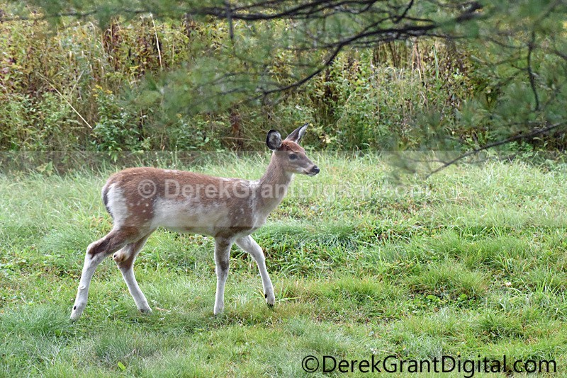 Piebald not Albino White-tailed Fawn Deer - Mammals, Reptiles & Amphibians