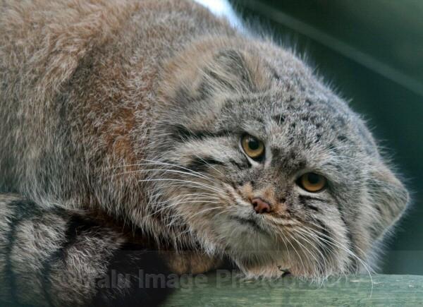 266 PALLAS CAT - BIG CATS