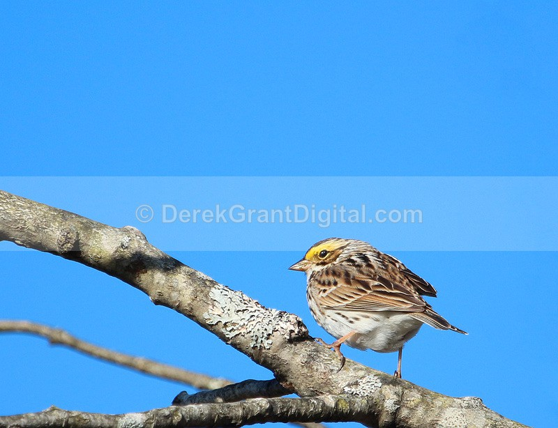 Savannah Sparrow - Birds of Atlantic Canada