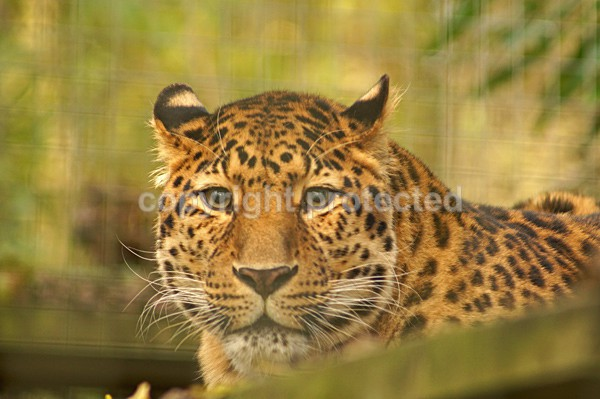 Amur Leopard - Manx - Our Bird of Prey and Leopard Images