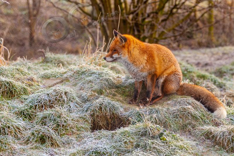 fox vulpes vulpes-0553 - UK Wildlife