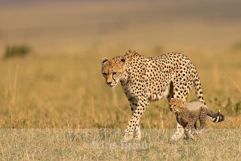 Walk in the Park II - Cheetah