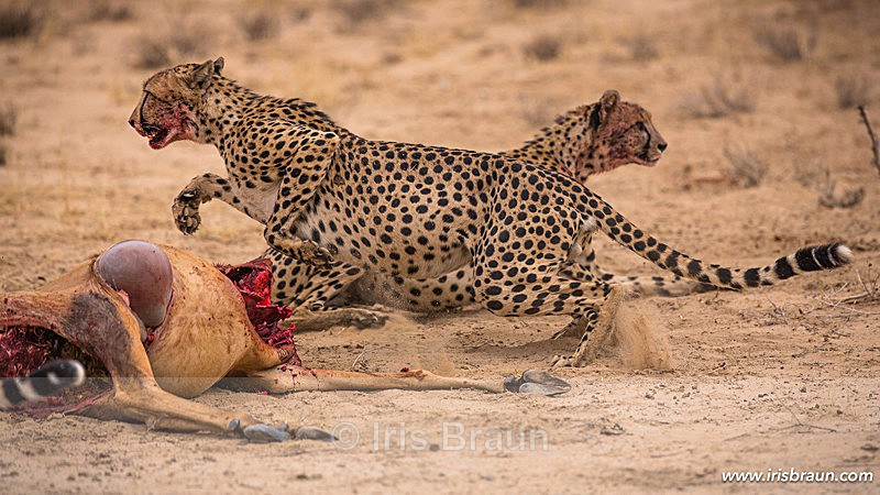 Feeding Frenzy - Cheetah
