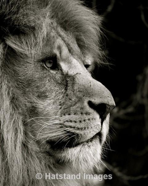 Lion - nature