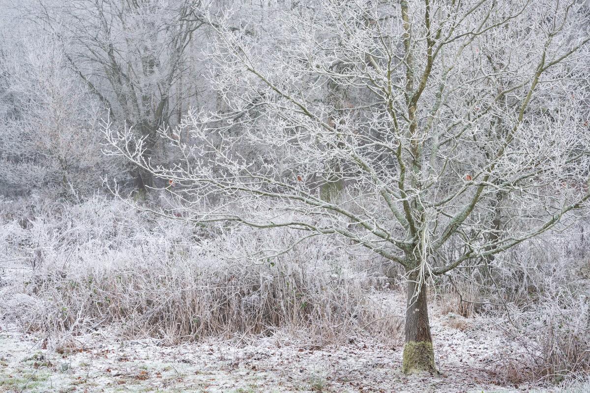 Cold Oak - WINTER