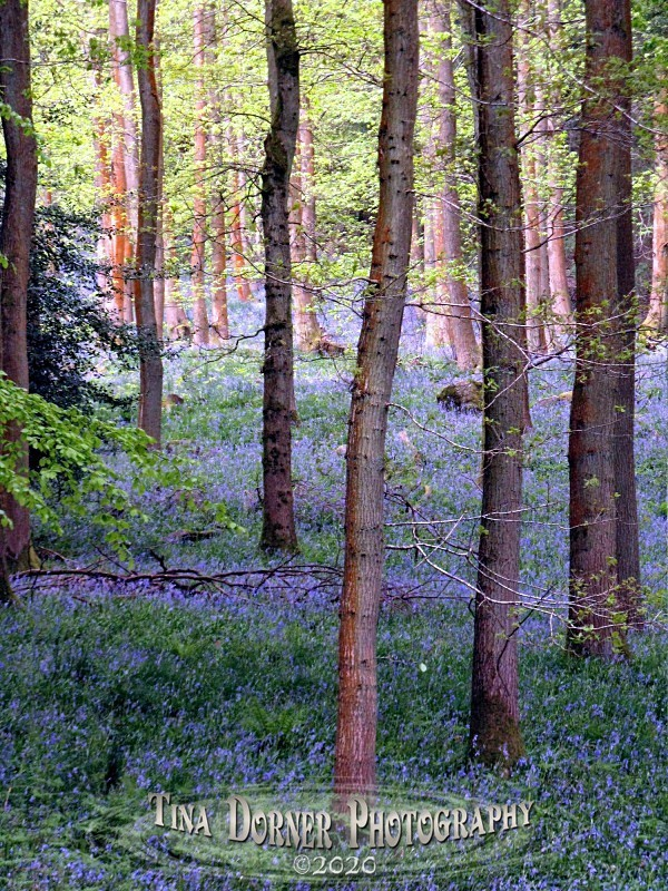 Bluebells at Soudley by Tina Dorner Photography, Forest of Dean and Wye Valley, Gloucestershire