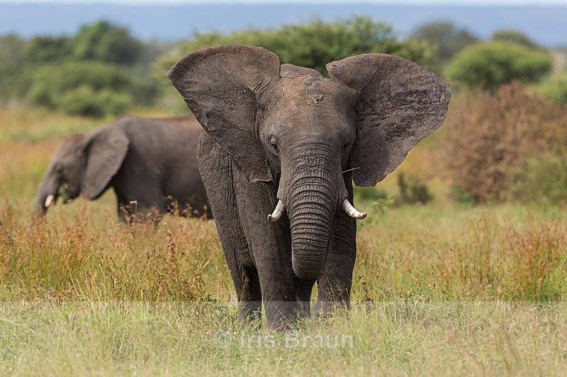 Flaping ears - Elephant