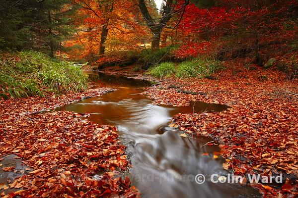 Autumn Hamsterly.Ref 4643 - County Durham