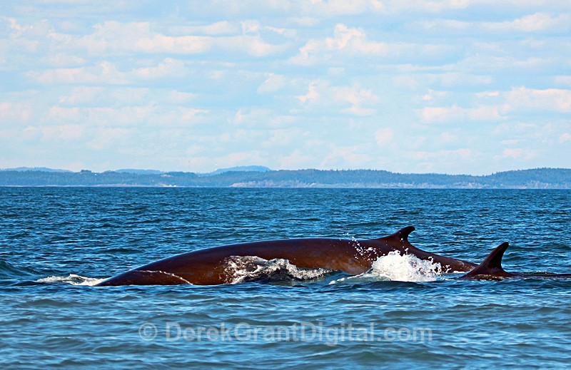 Fin Whale - Cow and Calf - Bay of Fundy Whales