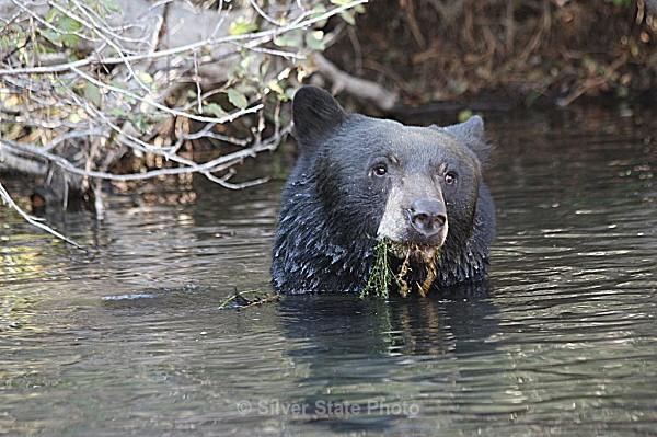 Black Bear - 'Wildlife' (Big & Small)