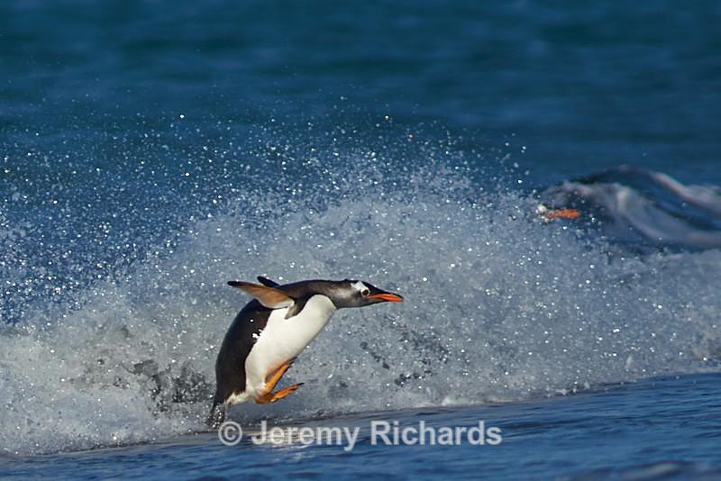 Gentoo Penguin - Sea Lion Island