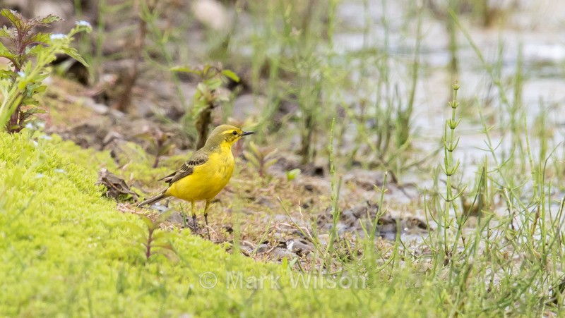 Yellow Wagtail - The rest.....