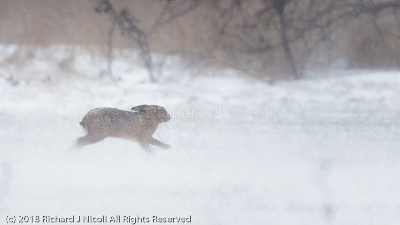 Hare (Lepus europaeus) in snow storm - Brown Hare (Lepus europaeus)