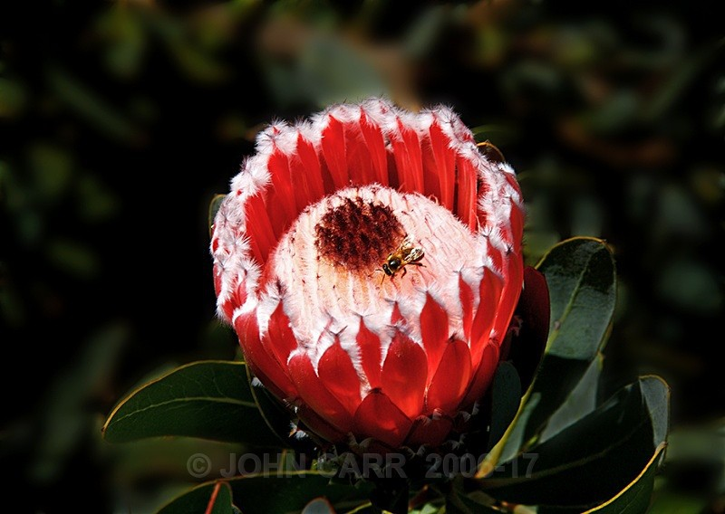 Protea and Fly-1057 - TREES, FLOWERS AND PLANT PHOTOS