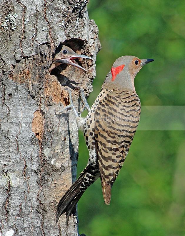 The Refusal Colaptes auratus auratus - Birds of Atlantic Canada