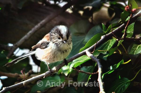 Long Tailed Tit - Birds