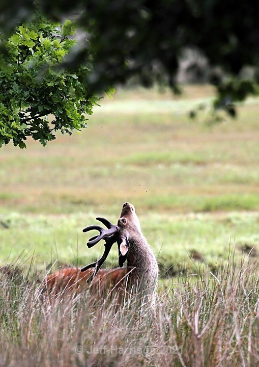 Sika Deer (image Sika D 02) - Mammals
