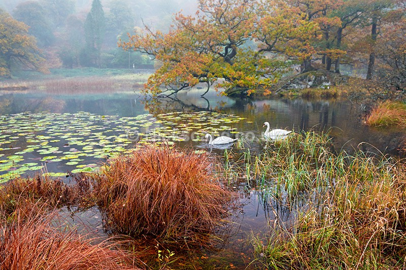 Photo of a pair of swans at Rydal Water in the Lake District National Park