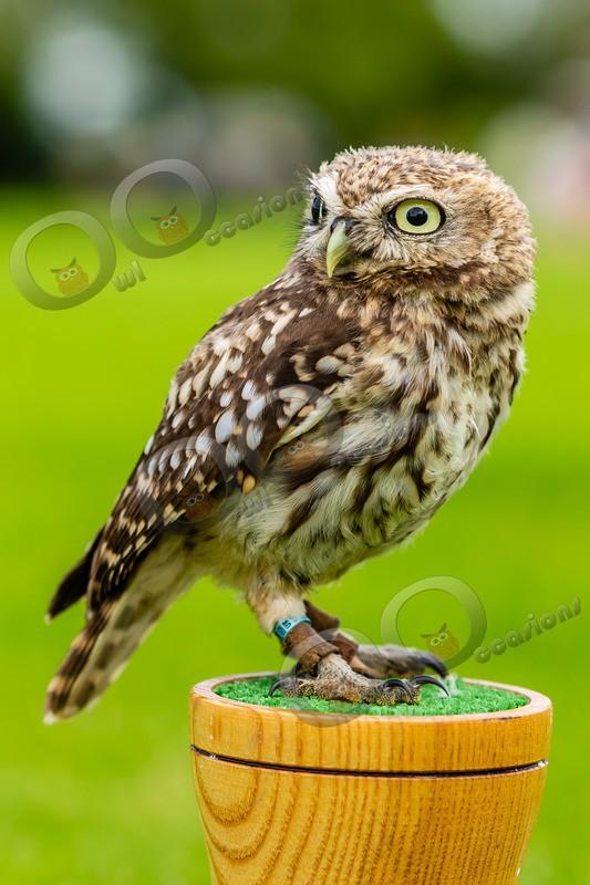 little owl  athena noctua-8828 - Owls of the World
