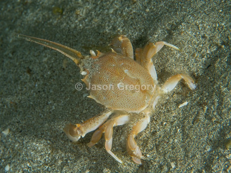 Corystes cassivelaunus - Crabs, Lobsters, Shrimps & Prawns etc (Crustacea)
